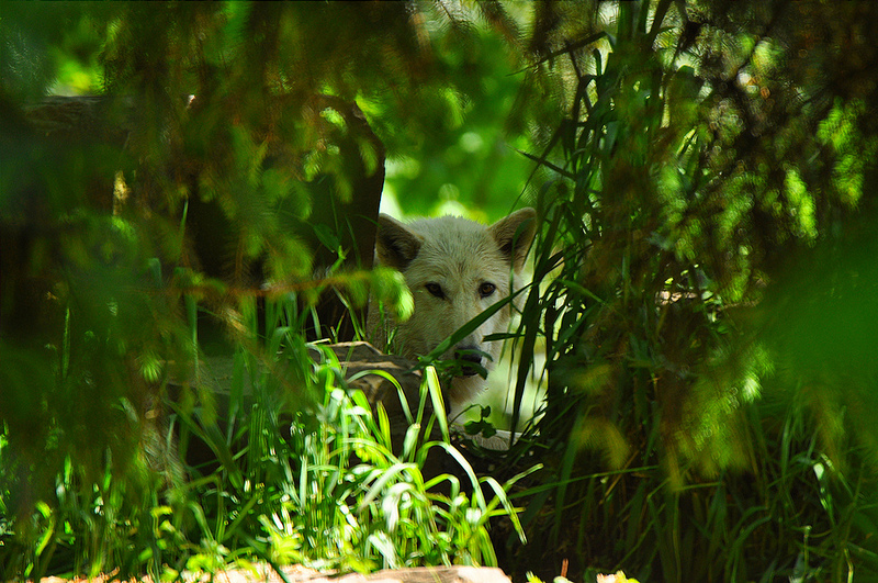 Wolf Through Trees